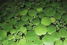 Mühlan - 10 Froschbiss als Schwimmpflanzen für