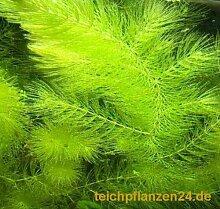 Mühlan - 7 Bund / Portionen Hornkraut für den Gartenteich, Sauerstoffpflanzen für den Teich, winterharte Sorte