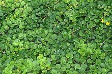 Mühlan - 7 Bund / Portionen Pfennigkraut für den Gartenteich, Sauerstoffpflanzen für den Teich, winterharte Pflanzen