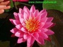 Mühlan - Eine rosa blühende Seerose für den Teich, der Blickfänger für den Gartenteich, winterharte Pflanze
