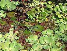 Mühlan - Gartenteich Schwimmpflanzenmix, 8 ausgewachsende Pflanzen, je 2 x Wassernuss, Muschelblume, Büschelfarn, Froschbiss