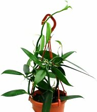 Mühlan Topartikel- 1 blühfähige Orchidee der
