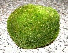 Mühlan Topartikel- 5 Mooskugeln Mini 2-3 cm,