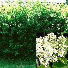 Mühlan Wasserpflanzen 150 Liguster Stecklinge