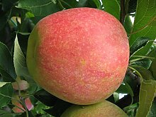 Müllers Apfel 'Pirol' ca. 150 cm im 10