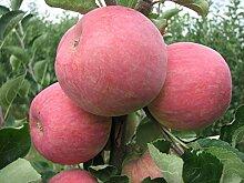 Müllers Apfel 'Piros' ca. 150 cm im 10