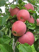 Müllers Apfel 'Reanda' ca. 150 cm im 10