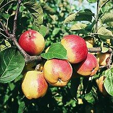 Müllers Apfel 'Reglindis' ca. 150 cm im