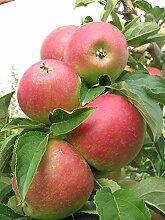Müllers Apfel 'Retina' ca. 150 cm im 10