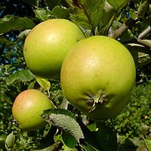 Müllers Grüner Garten Shop Apfelbaum