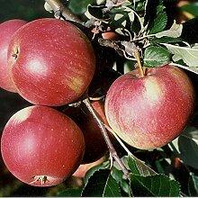 Müllers Grüner Garten Shop Apfelbaum Roter James