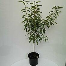 Müllers Grüner Garten Shop Mandelbaum
