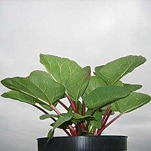 Müllers Grüner Garten Shop Rhabarber Pflanze