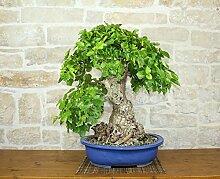 Mulberry bonsai tree (35)