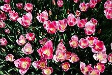 Muralo Fototapete Blühende Tulpen 240x360 Vlies