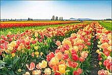 Muralo Fototapete Feld von Blühenden Tulpen