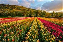 Muralo Fototapete Feld von Bunten Tulpen 90x135