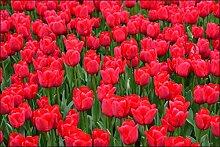 Muralo Fototapete Schöne Blühende Tulpen 150x225