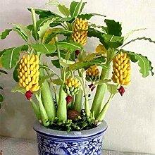Murieo Banane Samen Mini Bonsai 10/20/30/50/100