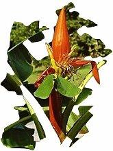 Musa aurantiaca, Assam-Zwerg-Banane, 5 Samen