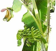 Musa yunnanensis,schnellwüchsige Banane, 5