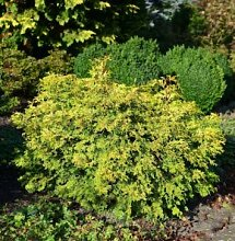 Muschel Scheinzypresse Bronze Pygmaea 15-20cm -
