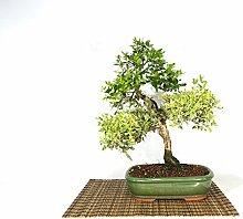 Myrtle bonsai tree (14)