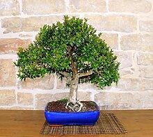 Myrtle bonsai tree (18)