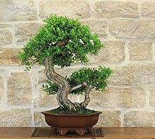 Myrtle bonsai tree (24)