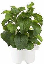 Nachfüllkartusche Stevia für SmartPo