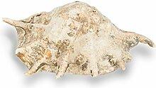 NaDeco® Lambis truncata ca.20cm | Große Schnecke | Schneckenhaus | Muscheln und Schnecken | maritime Dekoration | Deko Muschel