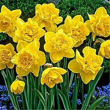 Narzissen Zwiebeln Blumenzwiebelblume Pflanzen