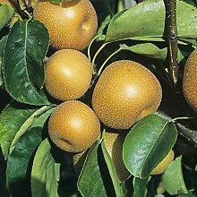 Nashi-Birne Kosui Birnen Birnenbaum Obstbaum