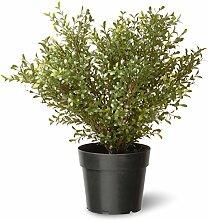 National Baum 24laubkäfer Pflanze mit Rund Grün blumenzüchtern Topf