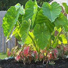 NAttnJf Samen zum Pflanzen, 10 Stück / Beutel