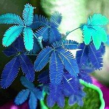 NAttnJf Samen zum Pflanzen, 10 Stück Mimosa