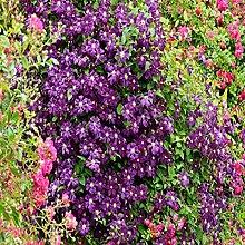 NAttnJf Samen zum Pflanzen, 100 Stück / Beutel