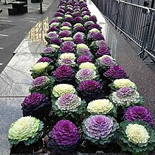 NAttnJf Samen zum Pflanzen,100 Stück Brassica