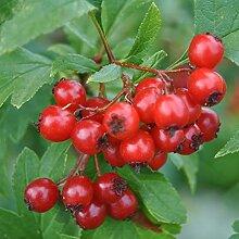 NAttnJf Samen zum Pflanzen, 100 Stück Cranberry