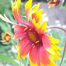 NAttnJf Samen zum Pflanzen,100 Stück Gaillardia