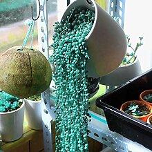 NAttnJf Samen zum Pflanzen, 50 Stück /