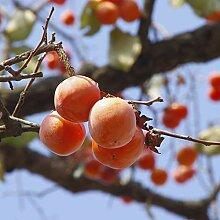 NAttnJf Samen zum Pflanzen, 50 Stück Persimmon