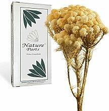 Nature Parts Brunia mit Stiel in Gebleicht (50