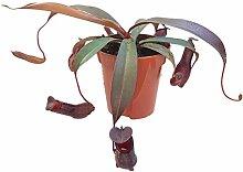 Nepenthes Rebecca Soper - rotblättrige sehr schöne Kannenpflanze - faszinierende fleischfressende Pflanze, welche als Einsteiger Karnivore geeignet is