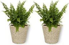 Nephrolepis Vitale - Schwertfarn - Zimmerpflanze