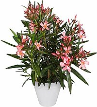 Nerium Oleander | Oleander Rosa | Getopfte Pflanze