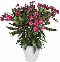 Nerium Oleander   Oleander Rot   Getopfte Pflanze