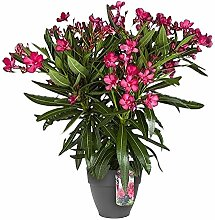 Nerium Oleander | Oleander Rot | Getopfte Pflanze