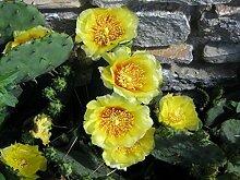 NEU! 20+ Feigenkaktus-Blumensamen/WINTER HARDY