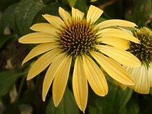 Neu! 20+ Yellow Echinacea Sonnenhut Blume